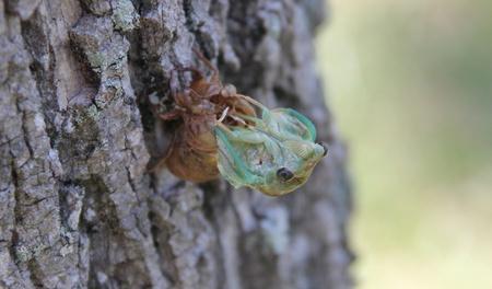 cicada shedding its old skin
