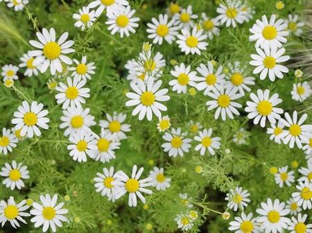 Field of Camomile (Matricaria recutita). Background Stock Photo - 11076478