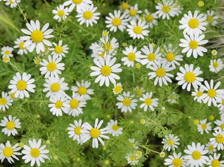 Field of Camomile (Matricaria recutita). Background Stock Photo