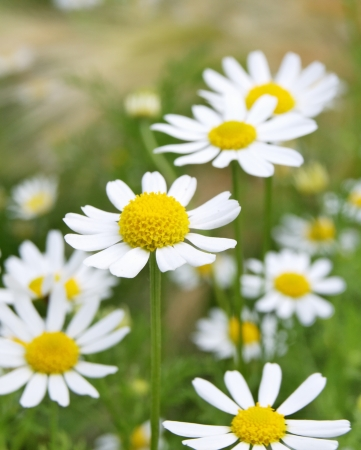 Field of daisy camomile (Matricaria recutita) photo