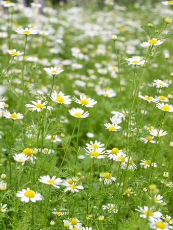 matricaria recutita: Campo di Camomilla (Matricaria recutita). Fondo Archivio Fotografico