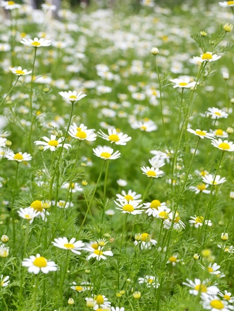 Field of Camomile (Matricaria recutita). Background
