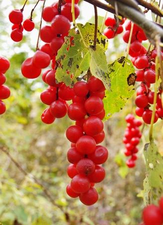 adaptogen: Berries of Schisandra Chinese against autumn foliage