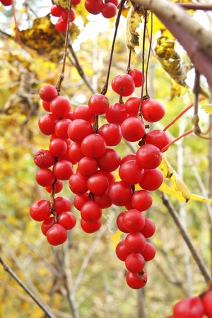 Hanging brushes of ripe berries Schisandra chinensis       photo