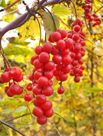 Liana Schisandra Chinese with clusters of berries against autumn foliage
