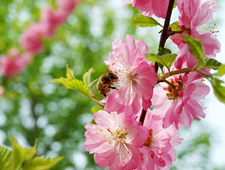 Honey bee on a blossoming Oriental cherry