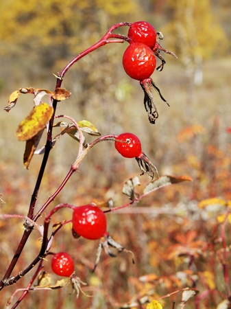 Ripe red berry wild rose against the dry grass