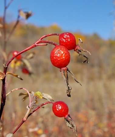 The ripe red berries on a dry branch of wild rose       Stock Photo