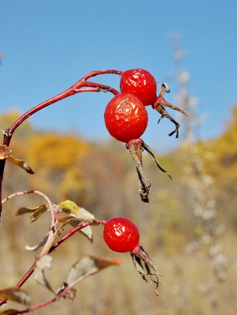 Red berries rose hips against the blue sky