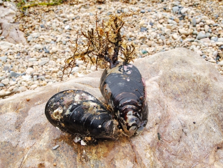 Two live mussels are on rock by the sea      Stock Photo
