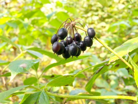 Eleutherococcus berries against the background of foliage