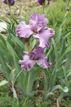Two beautiful light purple orchids