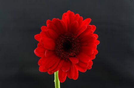 red gerber daisy: Single Red Gerber Daisy Stock Photo