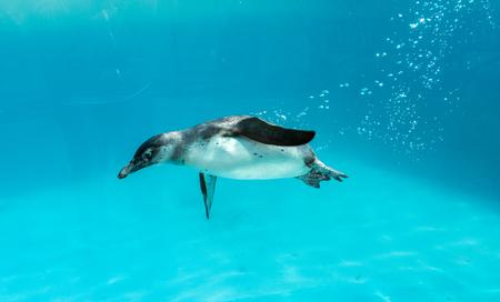 Humboldt Penguin swimming under the water