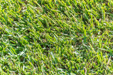 Close up view of Centipede Grass (eremochloa ophiuroides) Stock Photo