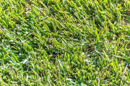 Close up view of Centipede Grass (eremochloa ophiuroides) Standard-Bild