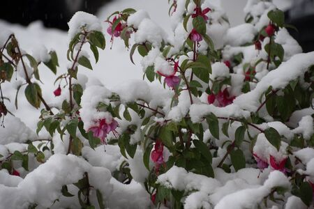 Pink fuschia plant covered in snow Stock Photo