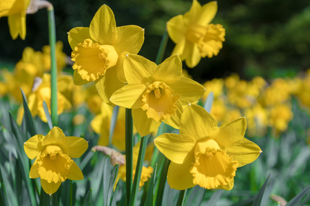Yellow daffodils growing in a field Stock Photo