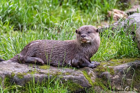 Asian small-clawed otter (Amblonyx cinerea)
