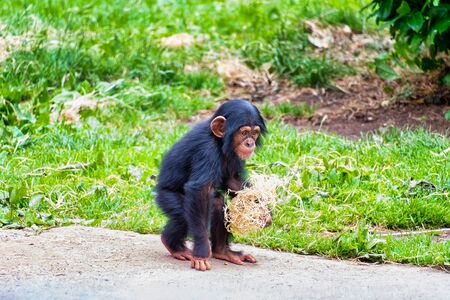 Young chimpanzee out walking in the sun Фото со стока