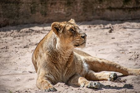 Female lioness laying on the ground in sun Фото со стока