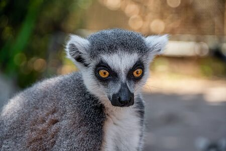 Close portrait view of a ring tailed lemurs head