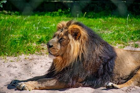 Male Asiatic lion laying down in the sun