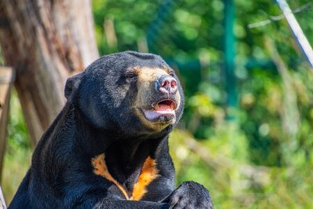 Close Portrait view of a Sun bear