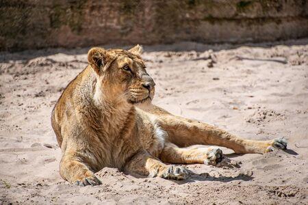 Leona hembra tendido en el suelo al sol