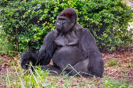 A male gorilla sitting on the ground