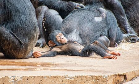Young chimpanzee laying on the ground