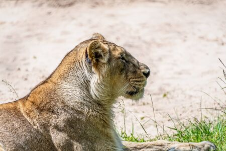 Side portrait view of a female lioness head