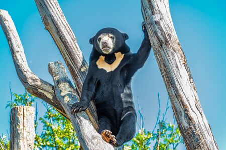 Sun Bear in the sun standing  in a tree Фото со стока