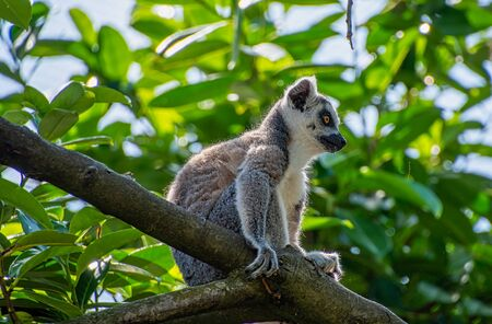 Ring tailed Lemur sitting high in a tree