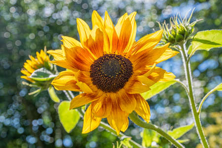 Single large sunflower bloom which is backlit from the sun