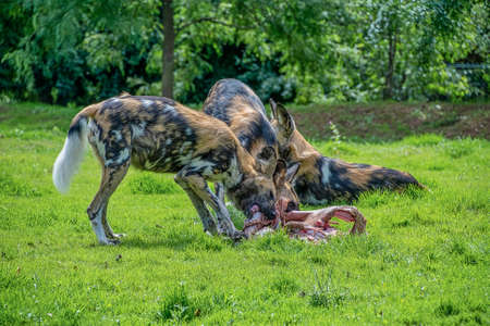 African Painted Dog: Scientific name: Lycaon pictus. Eating food Standard-Bild - 152215317