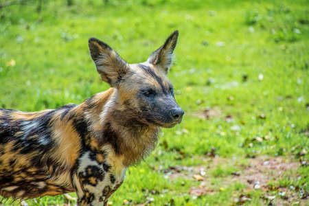 African Painted Dog: Scientific name: Lycaon pictus