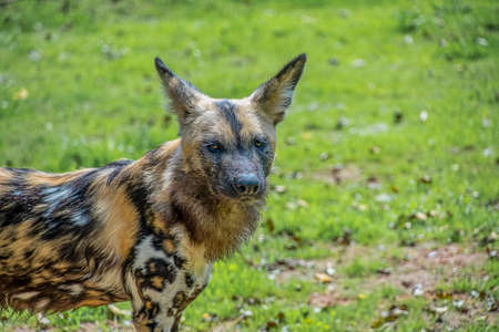 African Painted Dog: Scientific name: Lycaon pictus Standard-Bild - 152634758