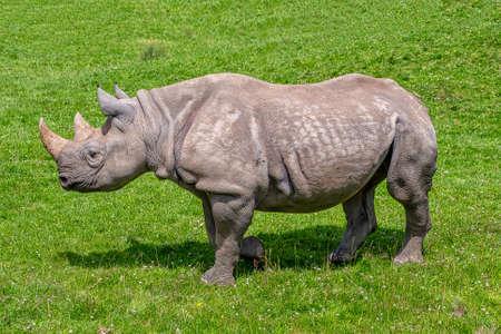 Black Rhino in a field Standard-Bild