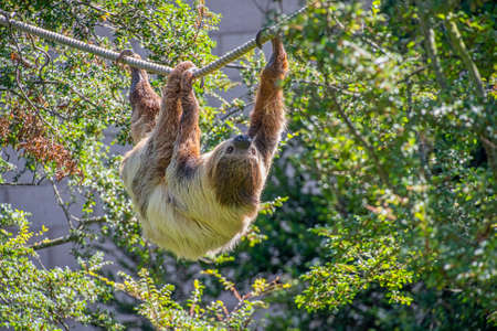 Two toed sloth slowley crawling along some rope Standard-Bild - 152215149
