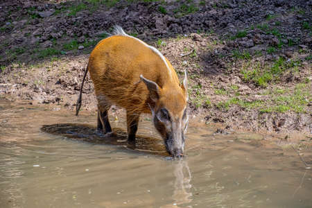 red River Hog drinking water from a river Standard-Bild