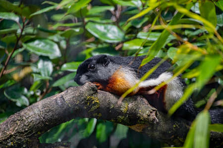 A Prevost squirrel laying on a tree branch