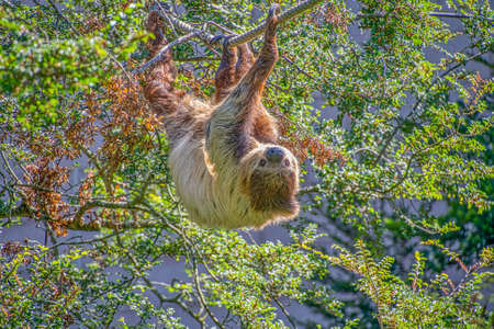Two toed sloth slowley crawling along some rope