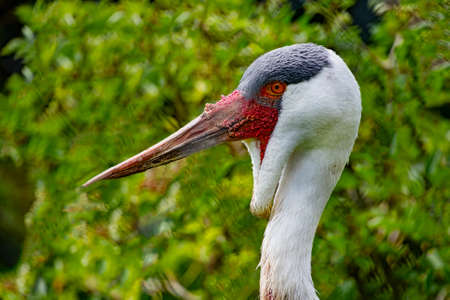 Close view of a Wattled Crane's head Standard-Bild