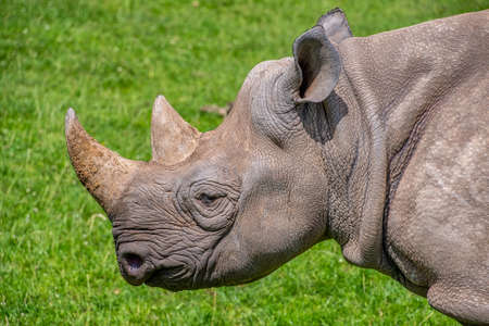 Close view of a black rhino head