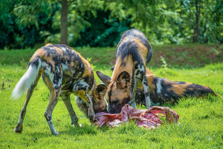 African Painted Dog: Scientific name: Lycaon pictus. Eating food