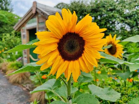 Close view of a sunflower bloom Standard-Bild