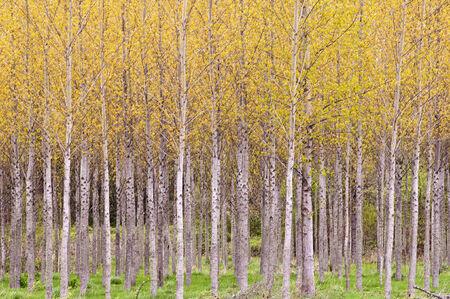 birch trees: fall birch trees Stock Photo