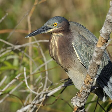 Side view of a green heron as it watches from atop a branch. Square shot. photo