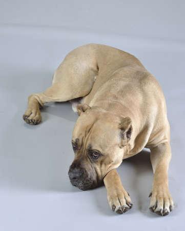 Dog  CaneCorso  studio pet portrait